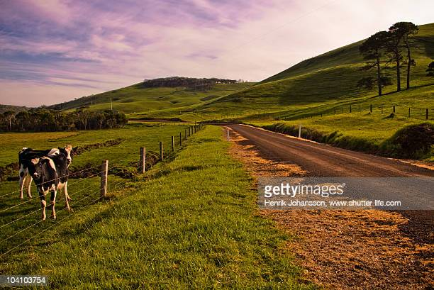 Rural road with cows and a sky with a purple tint