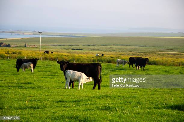 Rural scene and cow grazing in the field at Swanbister Bay, Scotland