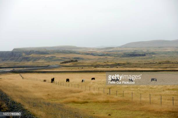 rural scene and horse grazing in the field at kirkjubaerjarklaustur, eatern iceland - 平地 ストックフォトと画像