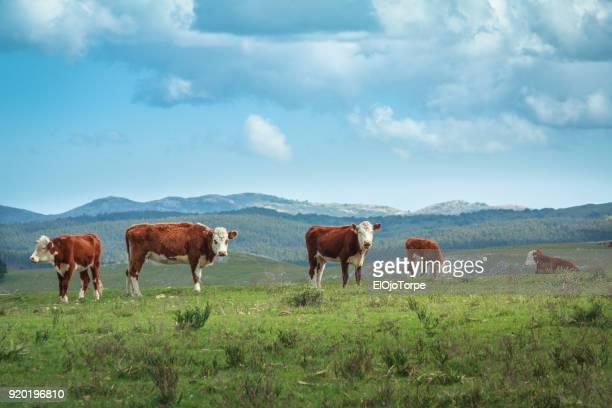 rural scene in maldonado (uruguay) cattle raised for beef consumption - maldonado uruguay stock pictures, royalty-free photos & images