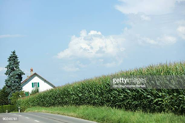 rural scene, row of corn along road, house in distance - straßenrand stock-fotos und bilder