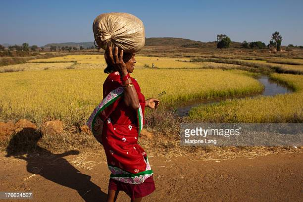 CONTENT] A rural scene with a woman carrying a bag on her head during harvest season in the paddy fields near Dumuriput village in the Koraput...