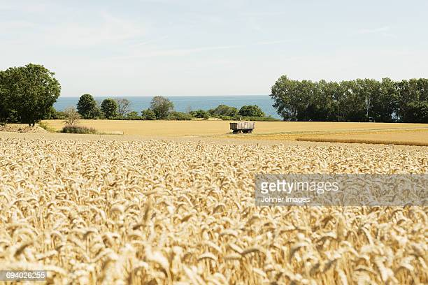 Rural scene with wheat field
