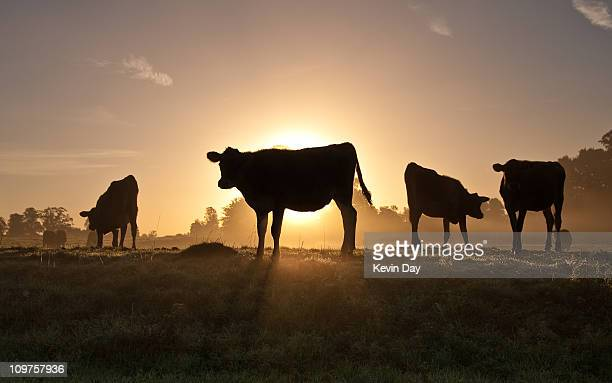 rural symmetry - dairy cattle stock pictures, royalty-free photos & images