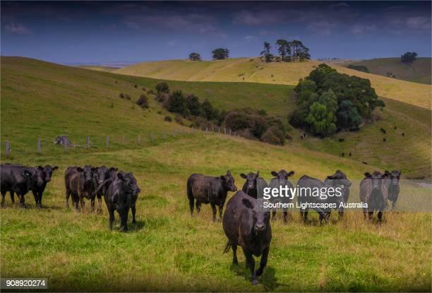 rural view near kardella in the leongatha district, south gippsland, victoria, australia - biffkor bildbanksfoton och bilder