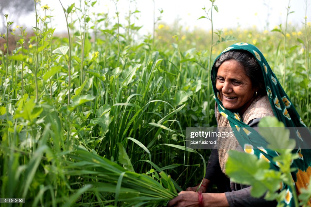 Rural women cutting silage for domestic cattle : Stock Photo