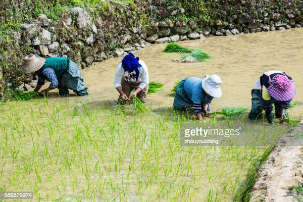 rural women who are transplanting rice seedlings in the terraced fields - who stock pictures, royalty-free photos & images
