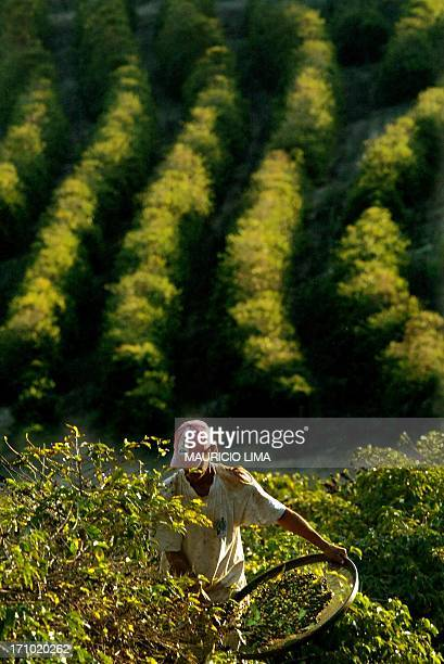 A rural worker collcts arabic coffee beans 23 Septembre 2003 at a farm near Varginha in the state of Minas Gerais Brazil The 20% drop in the price of...