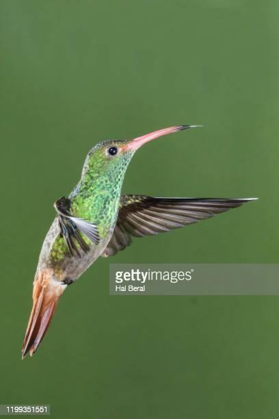 rusous-tailed hummingbird flying - braunschwanzamazilie stock-fotos und bilder