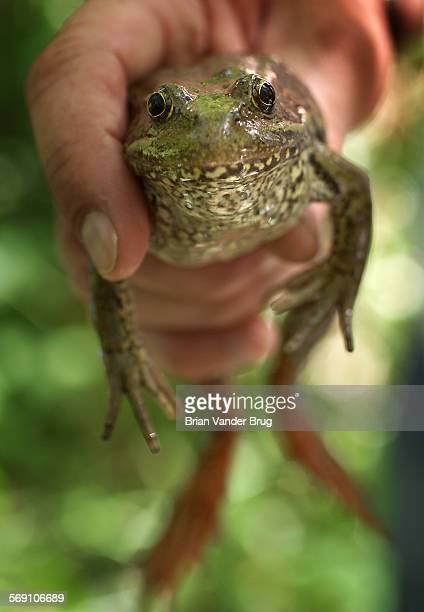 Russ Smith Los Angeles Zoo curator of reptiles displays a California red–legged frog while on a survey with the US Fish and Wildlife Service Thursday...