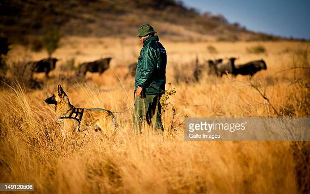 Russel the Belgian Shepherd and his handler walk in the Pilanesberg nature reserve on July 22 2012 in the North West Province South Africa Russel is...