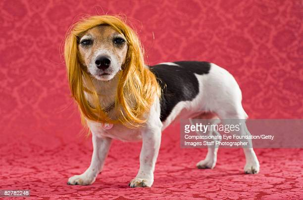 Russell terrier with wig on