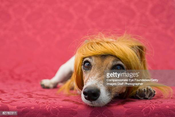 "russell terrier with wig on - ""compassionate eye"" stock pictures, royalty-free photos & images"
