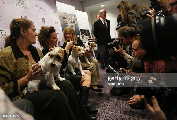 Russell Terriers are held for photographers at a press conference for the 137th Annual Westminster Kennel Club Dog Show on January 28 2013 in New...