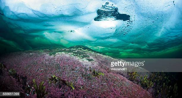 Russia, polar circle, algae under water