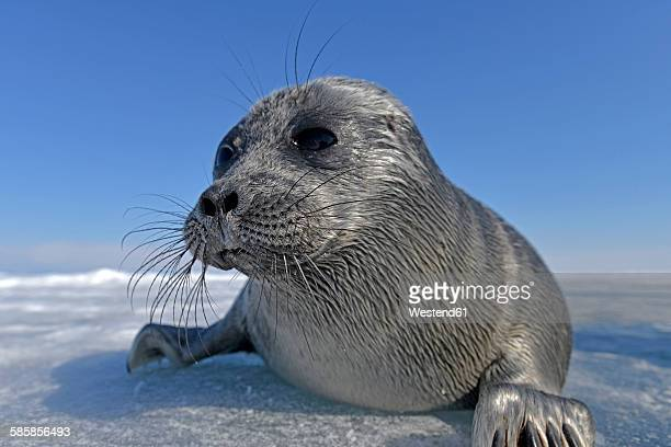 Russia, Lake Baikal, Baikal seal on frozen lake
