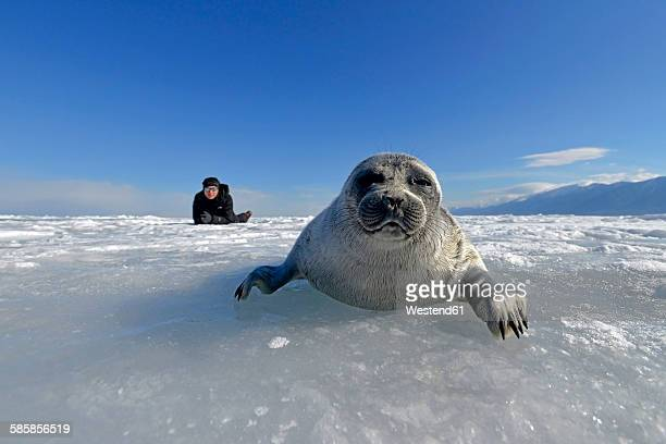 Russia, Lake Baikal, woman watching Baikal seal on frozen lake