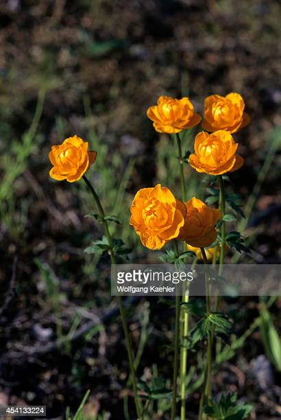 Yellow tundra flower stock photos and pictures getty images russia siberia yenisey river near dudinka tundra ranunculus flowers mightylinksfo