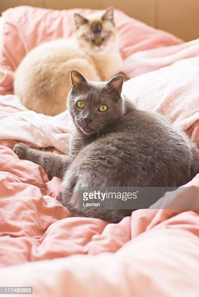 Russian blue cat and Siamese cat