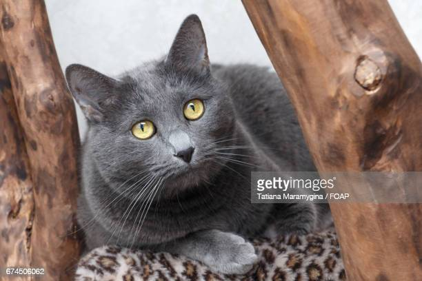 Russian blue cat and wooden trunks
