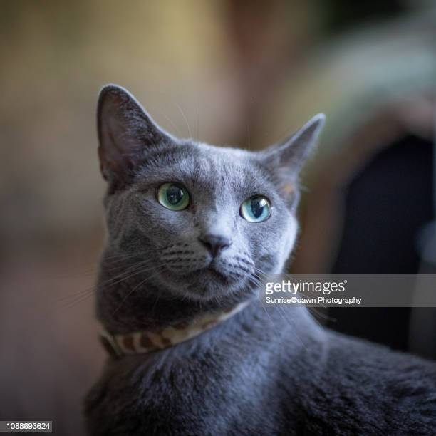 russian blue cat looking up - russian blue cat stock pictures, royalty-free photos & images