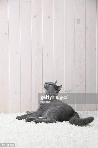 russian blue cat looking upwards - russian blue cat stock pictures, royalty-free photos & images