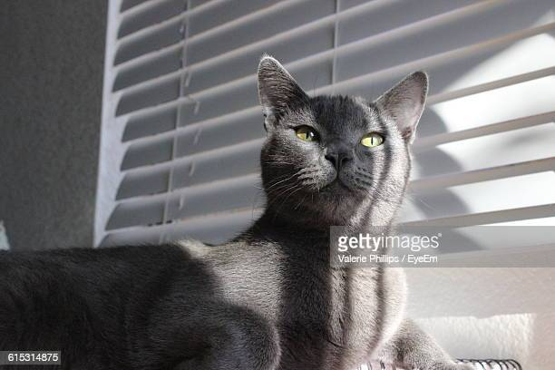 russian blue cat lying against window blinds at home - russian blue cat stock pictures, royalty-free photos & images
