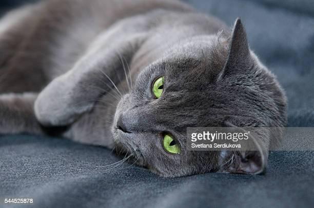 Russian Blue Cat on Denim