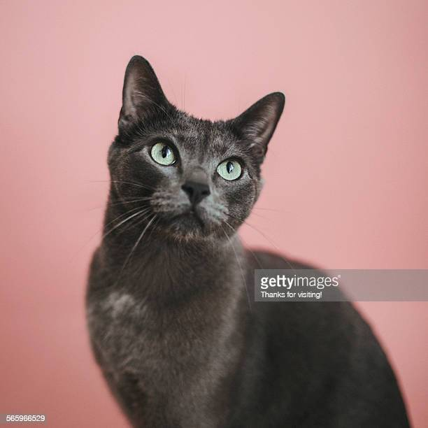 Russian blue cat on pink