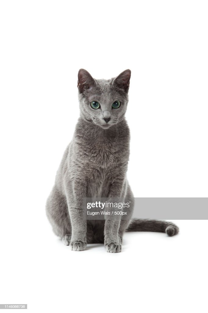 Russian Blue Cat On White High Res Stock Photo Getty Images