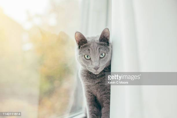 russian blue cat peeking from behind curtain - russian blue cat stock pictures, royalty-free photos & images