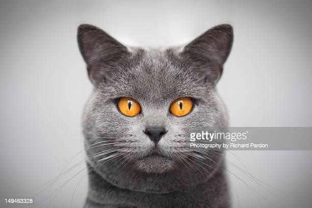 russian blue cat. - russian blue cat stock pictures, royalty-free photos & images
