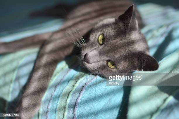russian blue cat - russian blue cat stock pictures, royalty-free photos & images