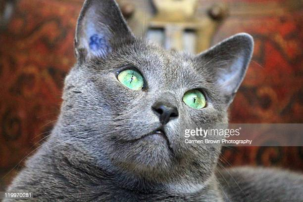 russian blue cat portrait - russian blue cat stock pictures, royalty-free photos & images