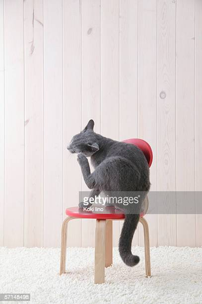 russian blue cat scratching - russian blue cat stock pictures, royalty-free photos & images