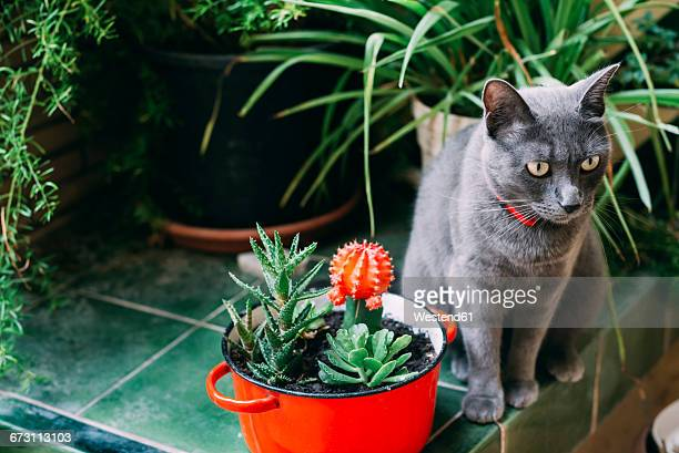 russian blue cat sitting between potted plants - russian blue cat stock pictures, royalty-free photos & images