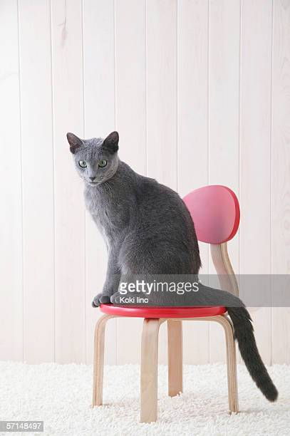 russian blue cat sitting on a chair - russian blue cat stock pictures, royalty-free photos & images