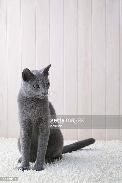 russian blue cat sitting - russian blue cat stock pictures, royalty-free photos & images