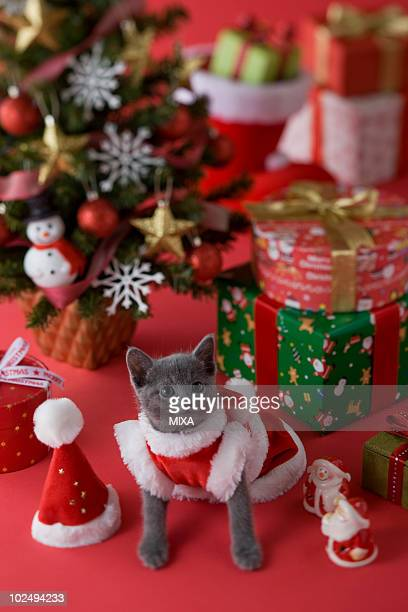 Russian Blue Kitten and Christmas