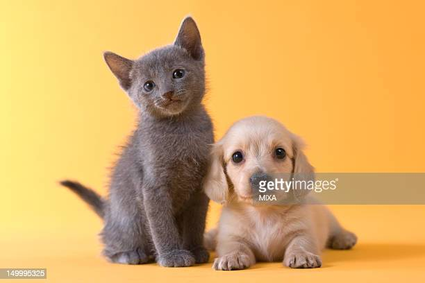 Russian Blue Kitten and Dachshund Puppy