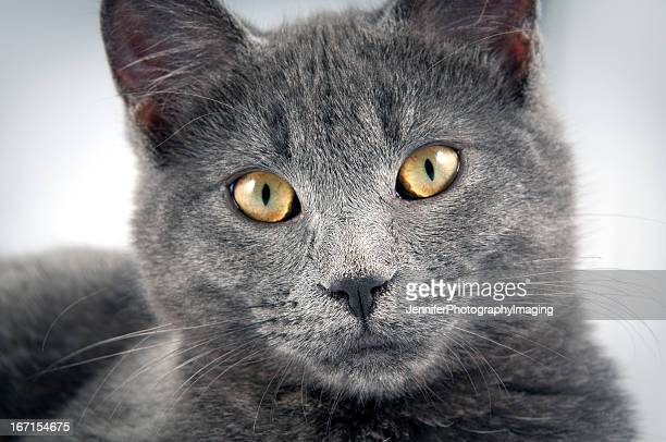 russian blue kitten - burmese cat stock pictures, royalty-free photos & images