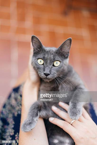 Russian blue lying in the lap of woman