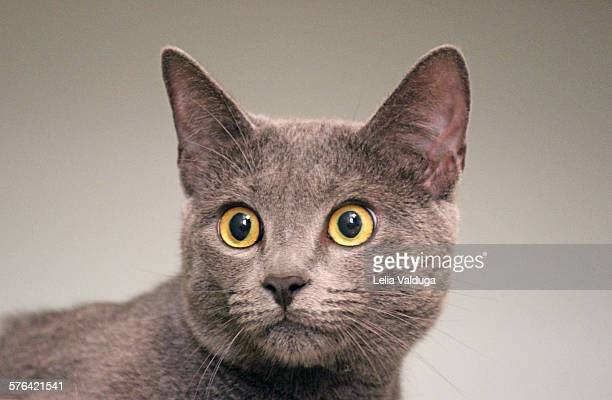 russian blue - russian blue cat stock pictures, royalty-free photos & images