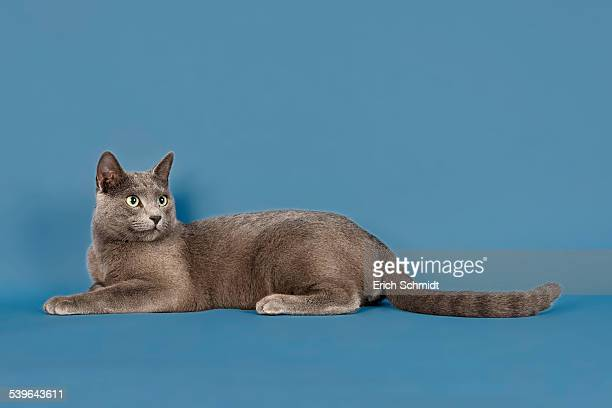 Abyssinian Cat Vs Russian Blue