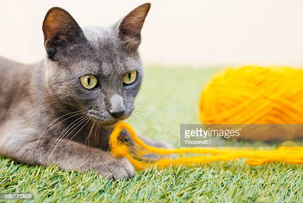 russian blue sitting playing with yellow wool - russian blue cat stock pictures, royalty-free photos & images