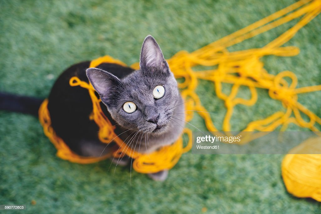 Russian blue tangled in yellow wool looking up to camera : Stock Photo