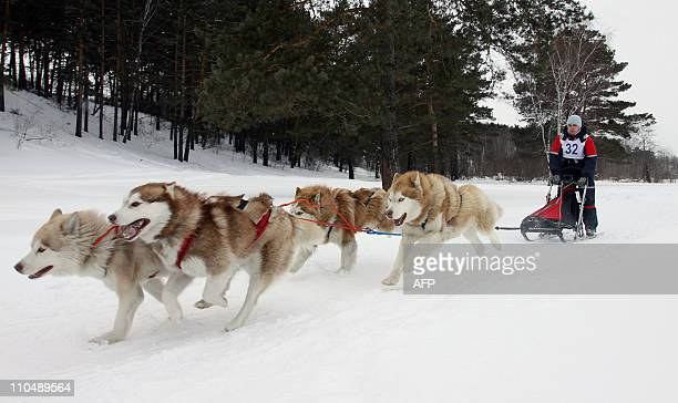 A Russian musher drives a team of Alaskan malamute sled dogs during a race outside of Kemerovo on March 19 2011 AFP PHOTO / YURI YURIEV