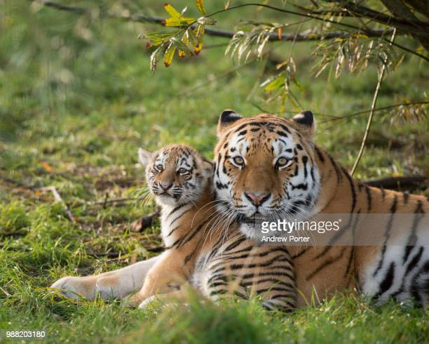 a russian tiger with her cub. - animal family stock pictures, royalty-free photos & images