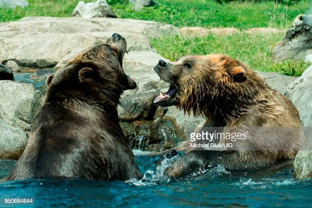 russias grizzly coast exhibit. brown bear aka grizzly, ursus arctos. bears are probably fighting to show their dominance. - grizzly bear attack stock pictures, royalty-free photos & images