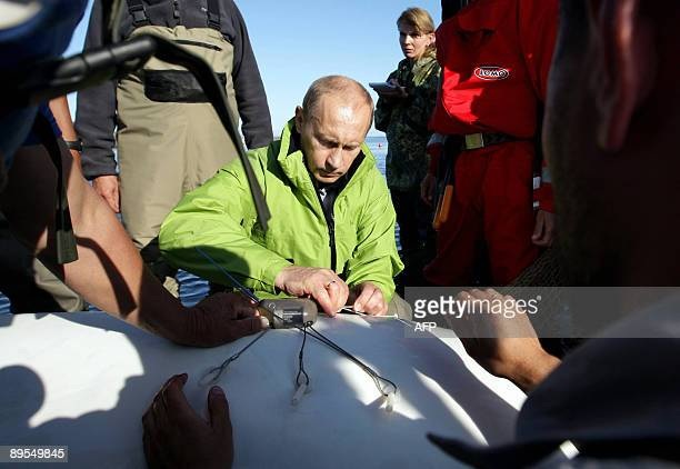 Russia's Prime Minister Vladimir Putin attaches a satellite tracking tag to a Beluga whale named Dasha during his visit to Chkalov island, some 700...